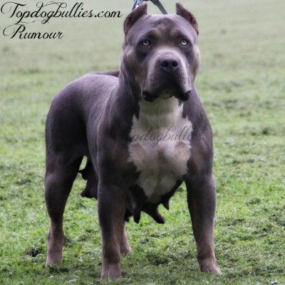 BLUE PITBULL PUPPIES FORSALE : PitBULL Breeder  pitbull