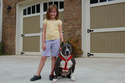 Male Blue Pitbulls For Sale Blue American Pit Bull Dogs