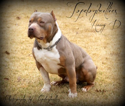 tri pitbull, xl tri pitbull , tri pitbulls for sale , champagne purple tri liliac