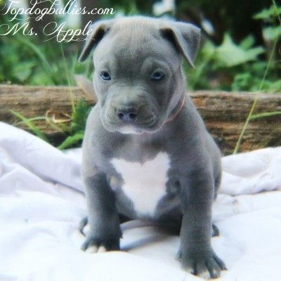 ghost blue tri pitbull pup bullies forsale