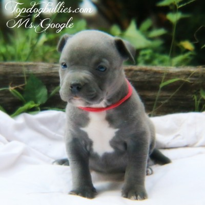 xl pitbull pups for sale xxl