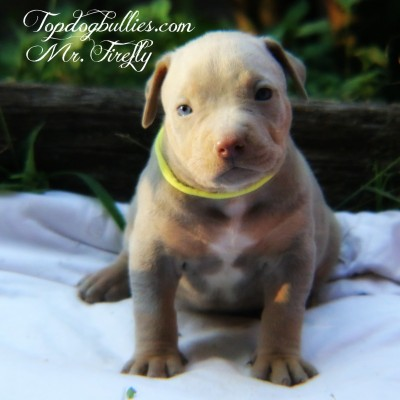 purple tri champagne pitbull american bully forsale pupies for sale lilac