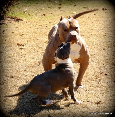 largest pitbull in world, xxl pitbull, xxl bully , american , topdogbullies , amazing muscular pitbull