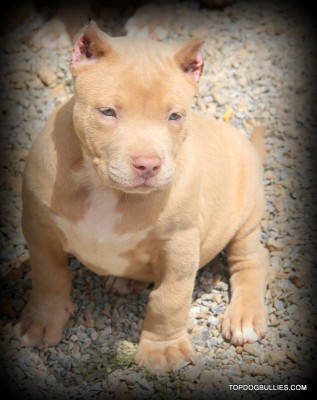 pitbull puppys for sale, fawn pitbull puppies forsale