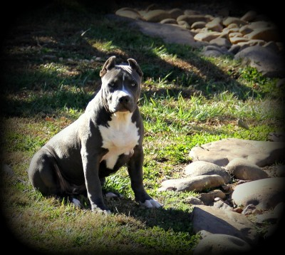muscled up pitbulls forsale puppies for sale bluenose