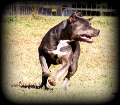 topdogbullies females tri blue fawn pitbulls