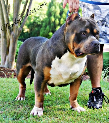 xl american bully pitbull blue tri forsale blue pitbull