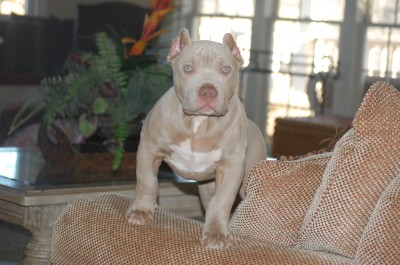 XL XTREME PITBULLS PUPPY pitbull puppies for sale american bully breeder pitbull puppies forsale georgia