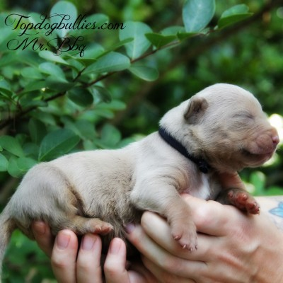 purple tri champagne pitbull american bully forsale pupies for sale