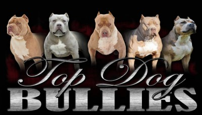 american bullies for sale , pitbull puppies for sale, forsale , xxl females , males