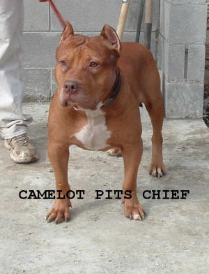 CAMELOT BLOOD , PITBULLS FOR SALE , AMERICAN BULLYS , RED NOSE PITS