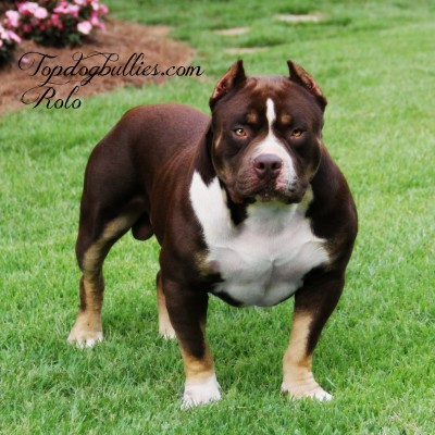 chocolate tri pitbull red tri  chocolate american bully for sale beautifmal male