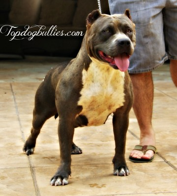 blue pit bull female breeder for sale