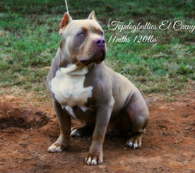 Rare Pitbull Breeds | www.pixshark.com - Images Galleries ...