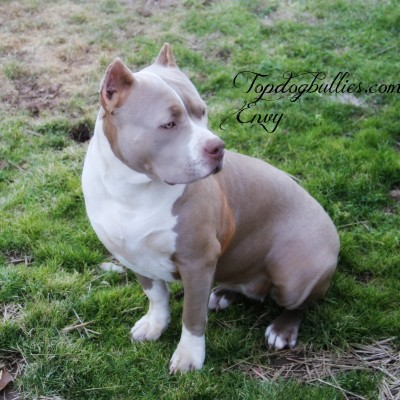 XXL Biggest Best Extreme Pitbulls American bully Breeder ...