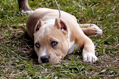 xxl large pitbulls for sale , blue pitbulls for sale, tri pitbulls for sale