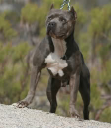 musclar pitbull blue topdogbullies xl xxl