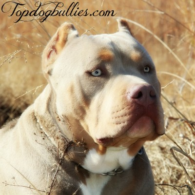 purple tri xl pitbull breeder
