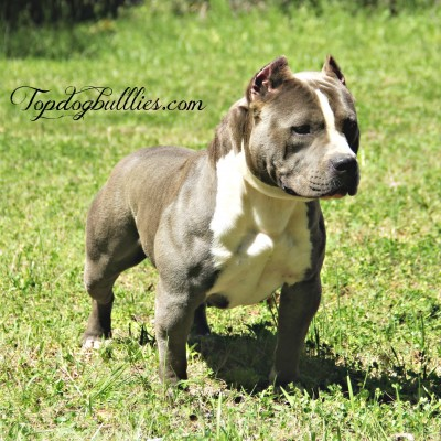 blue female standard pitbull