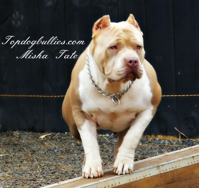 largest bully female pitbull xl xxl american bully puppies for sale topdogbullies american bully breeder