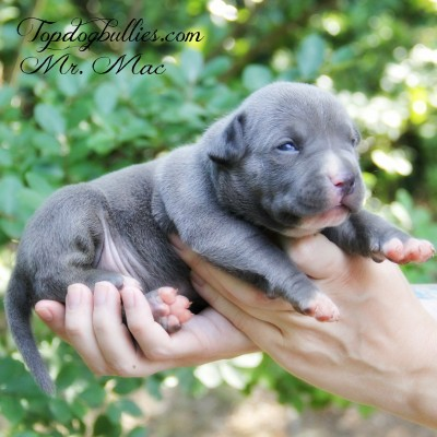 Pitbull Bully Puppies For In Florida - Pets Wallpapers