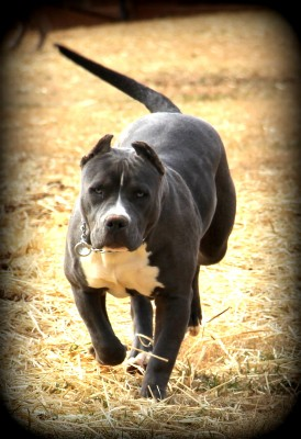 blue pitbull, xl blue pitbull, pitbull , american bully