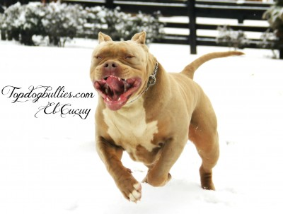 best xl tri champagne purple american bully pitbull for sale, monster xxl tri pitbull , fawn xl pitbull male