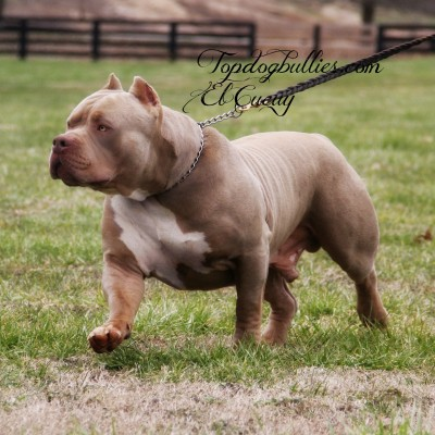 largest xl worlds biggest tri pitbull